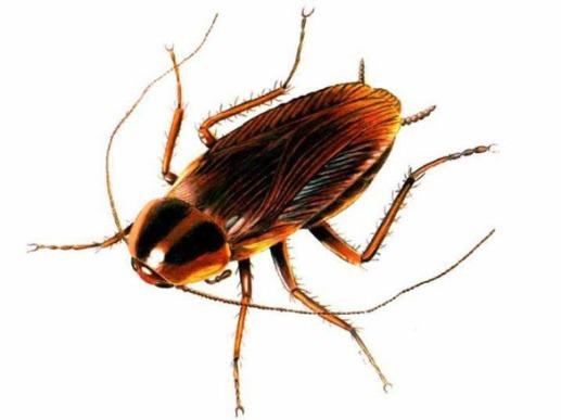 cockroach-3.jpg